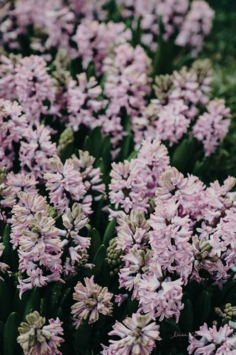 Hyacinth Closeup art print by Elise Catterall for $75.00 CAD